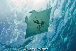Another pic of more than a dozen Mantas in Devil's Highwa... by Larry Polster 